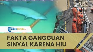 Fakta di Balik Viral Video Hiu Gigit Kabel Bawah Laut Jadi Penyebab Gangguan Sinyal, Ternyata Hoaks
