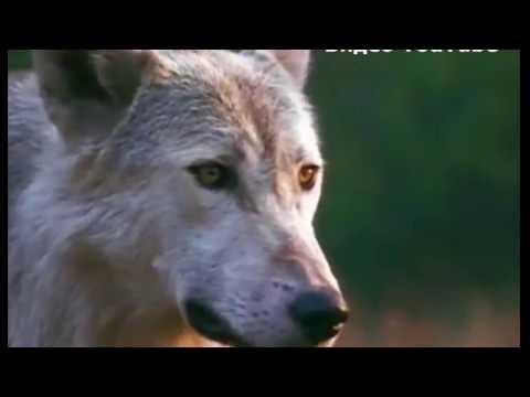 Убиты 45 собак и 8 овец: как администрация борется с волками