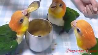 Попугаи танцуют...  прикольн