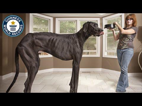 Anteprima Video Zeus, il cane più grande del mondo