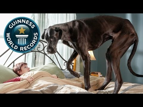 World's Tallest Dog - Meet The Record Breakers - Guinness World Records