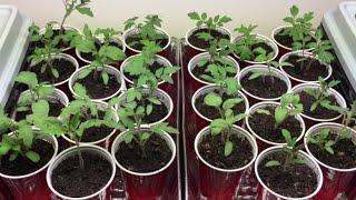 How to grow Tomato Seedlings
