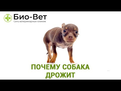 Почему Собака Дрожит? // Топ-9 Причин Дрожи у Собаки // Сеть Ветклиник БИО-ВЕТ