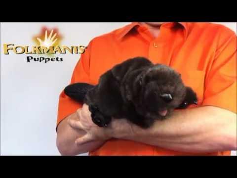 plyšový Černý bobr