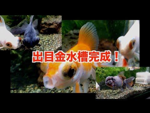【金魚水槽】60cmロータイプ 出目金水槽完成!