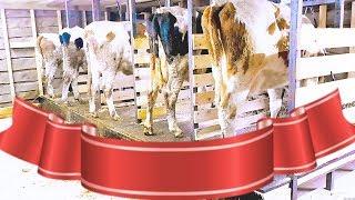 Как построить сарай для коров своими руками