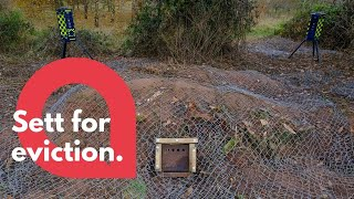 Netting is spread over 100-year-old badger sett to drive them out of their homes | SWNS