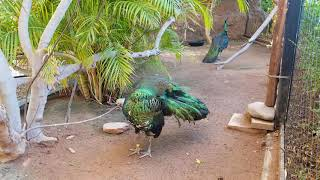 Java Green Peafowl