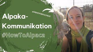 HowToAlpaca-Kommunikation - wie sprechen Alpakas?