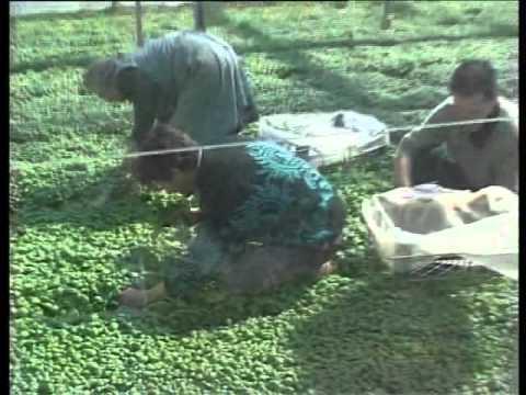 Il raccogliere di erbe da risposte di parassiti