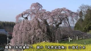 【HD】福島県 三春滝桜 – がんばれ東北!