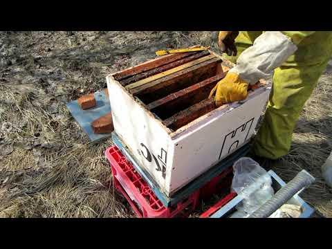 Пчеловодство.Как помочь слабому отводку весной. Осмотр перезимовки позднего бродячего ройка.