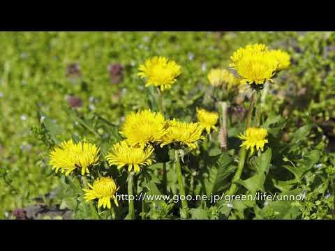 花を開くタンポポ タイムラプス