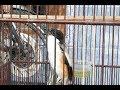 Suara Santai Burung CENDET untuk pancingan CENDET Trotol dan BAKALAN