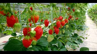 Tips To Have A Successful Strawberry Growing Season