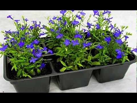САМЫЙ УДОБНЫЙ СПОСОБ ПОСАДИТЬ ЛОБЕЛИЮ НА РАССАДУ ! Выращивание из семян посев посадить поливать