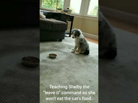 Teaching Shelby the leave it command