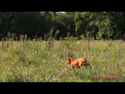 Coyote Hunting-- 8 Coyotes Come Looking For A Fight! 1 Dog Takes On 6 Of Them!!
