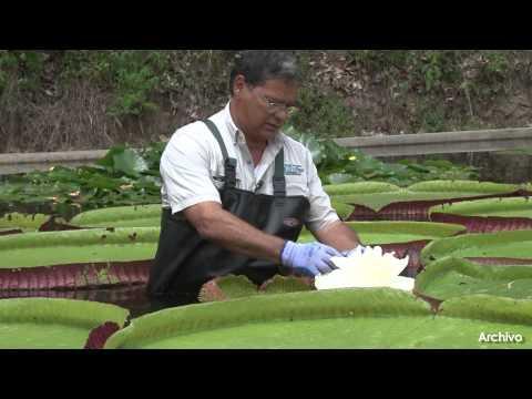Planta acuática Victoria fue recuperada en el Jardín Botánico de Caracas