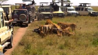 Lions capturing an African buffalo - Serengeti National Park - Tanzania - 24/01/2015