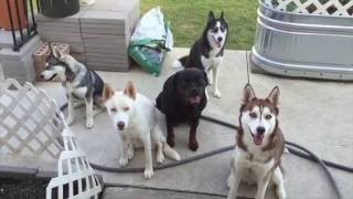Siberian Husky Training Tips