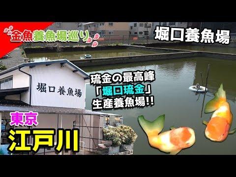 日曜日のみ入れる!堀口琉金で有名な東京江戸川区堀口養魚場行ってみた!!