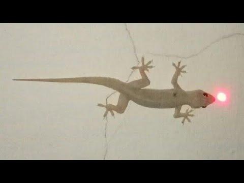Funny lizard dance