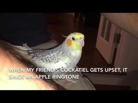 Попугай научился петь мелодию из iPhone
