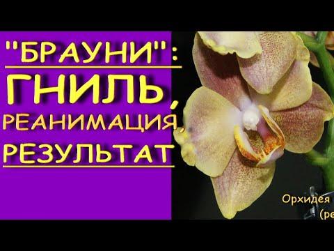 "ОРХИДЕЯ:гниль,РЕАНИМАЦИЯ,наращивание КОРНЕЙ,результат.Phalaenopsis 'Brownie' (фаленопсис ""Брауни"")."