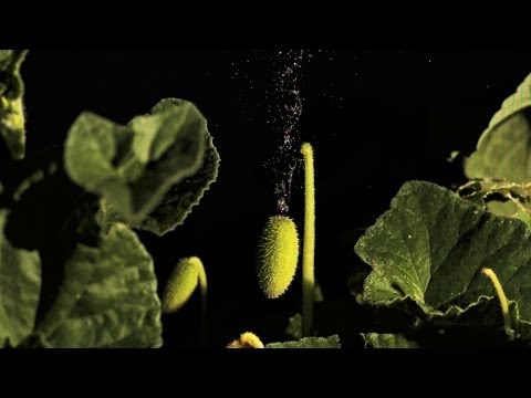 Exploding Cucumbers! - Slo Mo #36 - Earth Unplugged