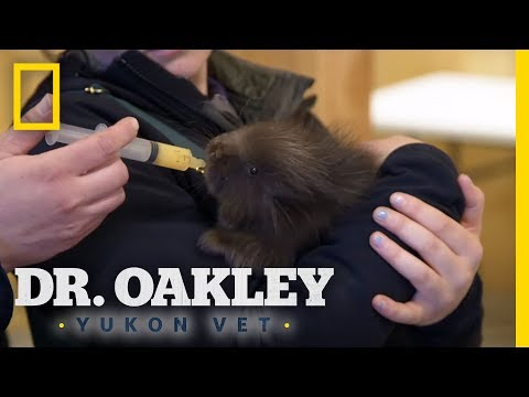 Examining a Baby Porcupine | Dr. Oakley, Yukon Vet