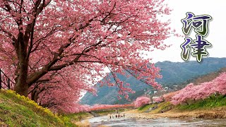 SHIZUOKA【Cherry blossoms】KAWAZU 2020  #河津桜  #4K