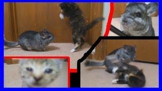 Kittens vs Chinchilla