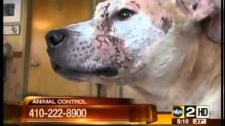 Dogs used as bait for dog fights