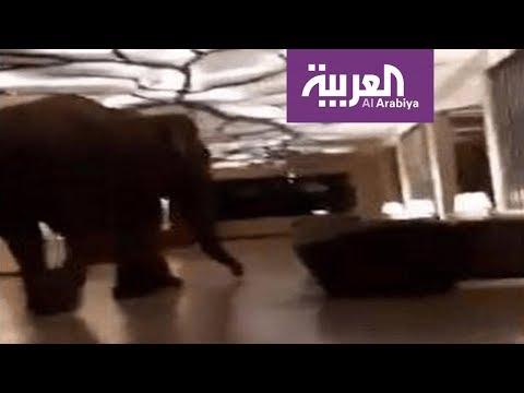 العرب اليوم - شاهد: فيل ضخم يتجول في بهو فندق دون خسائر