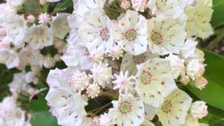 Mountain laurel flower of Connecticut