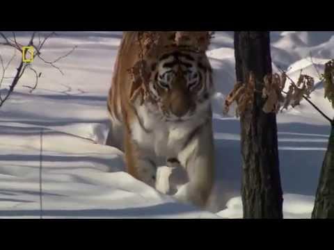 ทิงเจอร์เว็บมีเส้นเลือดขอด