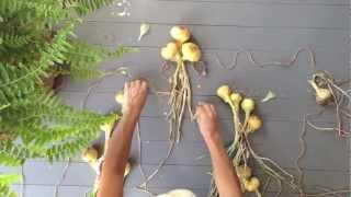 How To Braid Onions Or Garlic
