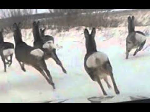 Загонная охота с на КОСУЛЮ на лошадях.(Не удачная съёмка).