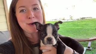MY NEW BOSTON TERRIER PUPPY