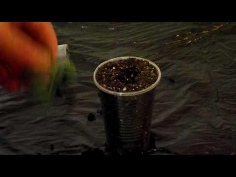 Выхаживание детки фиалки в живом мхе. Укоренение листика в соке алоэ.