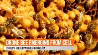 'Bobbees Beekeeping': Amazing footage of a drone bee emerging from his cell