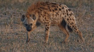 Deadliest Hyena Captured !