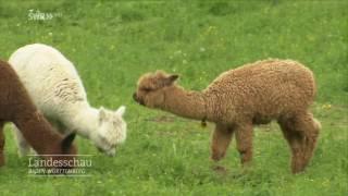 Alpaka-Züchterin Manuela Gansloser