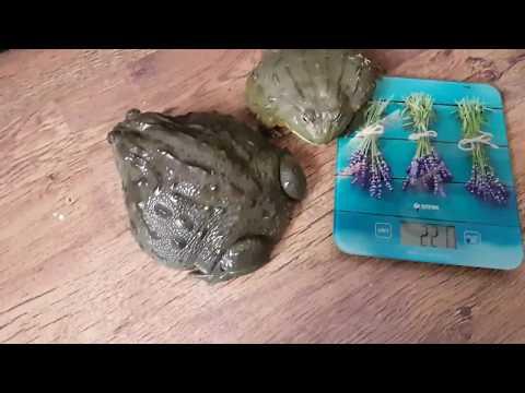 Два с половиной кг лягушатины, котик, топоры и упоротые зоологи