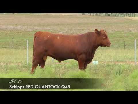 SCHIPPS RED QUANTOCK Q45 (MAF) (NHF) (OSF) DC Q45