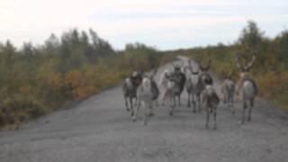 Норвегия. Олени на дороге.