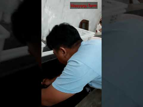 Proses Sortir Lobster Indukan Bertelur /  Trik Supaya Banyak yg Bertelur