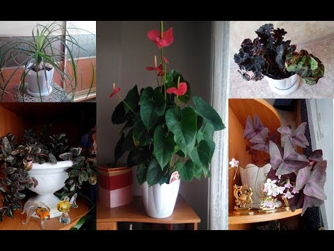 Моя коллекция комнатных растений, декоративнолиственные и не только