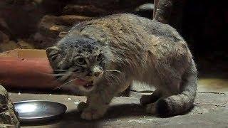 ひたむきに鶏肉を食べるマヌルネコ「ナイマ 」(上野動物園)Pallas's Cat Have A Meal